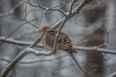 mourning_dove-1_MaxHDR (old_hippy1948) Tags: dove mourningdove