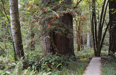 Tree Portrait 12 (Dylan H, from the road) Tags: northamerica california lostcoast redwoods forest tree path trail green color texture landscape