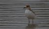 red-capped plover (Charadrius ruficapillus)-0014 (rawshorty) Tags: rawshorty birds nsw australia portmacquarie