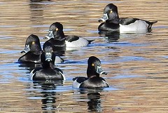 Ring-necked Duck, Group of Males (beautyinature4me) Tags: bird avian ringneckedduck water pagesprings arizona december2016