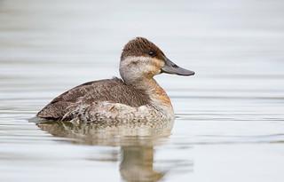 Ruddy duck F  Gilbert water ranch az