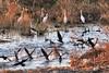 Stillness and Motion (seiji2012) Tags: 鷺 鵜 多摩川 立川市 多摩河原 ergot river tamariver cormorant egret