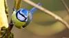 Mésange bleue (Phil du Valois) Tags: mésange bleue cyanistes caeruleus eurasian blue tit herrerillo común chapimazul blaumeise kék cinege pimpelmees cinciarella europea blåmes blåmeis sýkorka belasá sýkora modřinka blåmejse sinitiainen mallerenga blava eurasiàtica blámeisa modraszka zwyczajna zilzīlīte plavček лазоревка アオガラ 青山雀 歐亞藍山雀