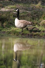 Oie bernache du Canada (Passion Animaux & Photos) Tags: oie bernache canada goose branta canadensis parc animalier saintecroix france