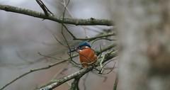 P3049635 (neptunus1960) Tags: alcedo atthis kingfisher