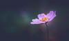 Cosmos (Dhina A) Tags: sony a7rii ilce7rm2 a7r2 kaleinar mc 100mm f28 kaleinar100mmf28 5n m42 nikonf russian ussr soviet 6blades flower bokeh cosmos