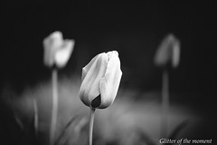2017 04 16 - 060918 0 Canon EOS 6D (ONLINED1782A) Tags: photography photo blackandwhite bw depthoffield vsco vscofilm canoneos6d ef100mmf28lmacroisusm nature outdoor serene silence tulip plant plants flower flowers