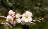 Cherry Blossom (Arup De) Tags: cherry bloom garden nature california spring branch ceres pollen nector bokeh sakura pink beauty flordecerezo petals mulan nikon d500 branchlet outdoor cherryblossom frühling kevät flora