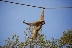 Macaquices (Carlos Santos - Alapraia) Tags: ngc ourplanet animalplanet canon nature natureza wonderfulworld highqualityanimals unlimitedphotos fantasticnature macao monkey