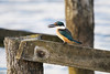 Kingfisher ~ Pauatahanui Wildlife Reserve (whitebear100) Tags: kingfisher pauatahanuiinlet pauatahanui pauatahanuiwildlifereserve porirua nz newzealand northisland 2018