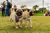Ragner and Horus 2 (bahvicente) Tags: pug dog petphotography fotografiapet