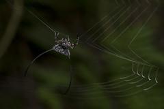 Makunda Arachnids-1062 - Macracantha arcuata (Vijay Anand Ismavel) Tags: macracanthaarcuata makundaarachnids nikond800