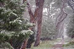 still winter (peeteninge) Tags: snow winter wood forest sneeuw bos bomen trees nature natuur fujifilmxt2 fujifilm