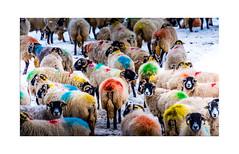 Technicolour Sheep (muddybootsuk) Tags: sheep raddle tup ewe swaledale winter snow colour farm agriculture rural muddybootsuk yorkshire yorkshiredales darnbrook house arncliffe malham england greatbritain unitedkingdom nikon d810 nikkor35300mm