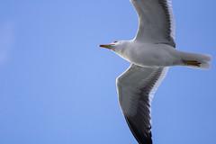 On the way (michael_hamburg69) Tags: möwe seagull gull bird vogel tier himmel sky blue