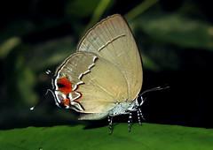 Theclopsis demea (hippobosca) Tags: butterfly lycaenidae peru theclopsisdemea insect lepidoptera hairstreak macro