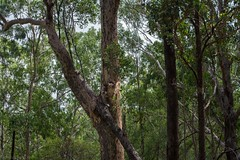 merging (dustaway) Tags: treescape landscape australianflora australiantrees myrtaceae corymbia eucalyptusmoluccana spottedgum greybox trees trunks forest richmondrange clarencevalley northernrivers nature nsw australia richmondrangenationalpark