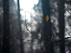 Die letzten ihrer Art (malp007) Tags: blatt baum tree træ skov wald object nature naturephotography light lys licht fastmonochrome woods forest
