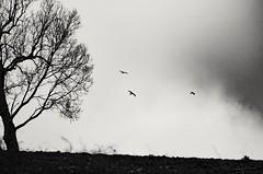 Tre di tre (cristiano delle rose) Tags: tre uccelli comò poiana abruzzo gissi panorama bew bianco nero ombre albero sagome fantasma gost halloween
