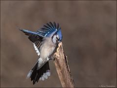 Blue Jay (hey its k) Tags: birds bluejay cherryhillrbg hamilton nature wildlife burlington ontario canada ca img6981e canon6d tamron 150600mm hfg