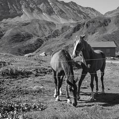 meeting @ Passo della Novena (archive 2016) (Toni_V) Tags: m2401240 rangefinder digitalrangefinder messsucher leica leicam mp typ240 type240 35lux 35mmf14asphfle hiking wanderung randonnée escursione nufenenpass tessin ticino horses pferde square bw monochrome blackwhite schwarzweiss landscape alps alpen switzerland schweiz suisse svizzera svizra europe ©toniv 2016 160906 animal valbedretto