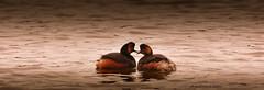 Grèbe à cou noir   (podiceps nigricollis)......THE PROMiSE OF DAWN (francisaubry) Tags: nikon nikkor seabird aves 300mm bird grébe nikonflickraward