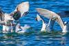 Gaviota patiamarilla (Ignacio Javier ( Nacho)) Tags: acuaticas facebook gaviotas aves flickr páginafotografia faunayflora