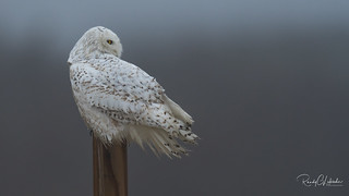 Snowy Owls of New Jersey | 2018 - 12