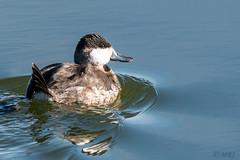 Ruddy Ducks Return (MelRoseJ) Tags: sanrafael california unitedstates us sonyalpha sony sonyilca77m2 sal70200g a77ii alpha autofocus birds bayarea nature northerncalifornia ruddyduck lasgallinas