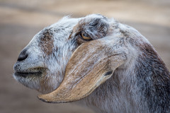 Would you, could you, kiss a goat? (Pejasar) Tags: goat pettingzoo tulsa zoo oklahoma profile portrait brown white hair eye