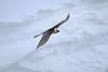 Bartgeier / Bearded Vulture (frau-specht) Tags: lämmergeier bartgeier beardedvulture gypaetusbarbatus switzerland alps schweiz alpen swissalps wildandfree