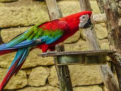 Colour Pride (RIch-ART In PIXELS) Tags: parrot bird animal colours red blue green mondoverde landgraaf thenetherlands zuidlimburg leicadlux6 leica dlux6 portrait