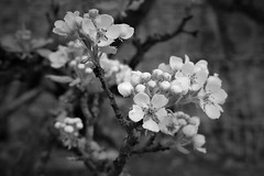 Pear Blossom (JulieK (thanks for 6 million views)) Tags: hmbt bokeh flowers blossom pear flora colcloughwalledgarden canoneos100d ireland irish wexford bw monochrome postprocessed