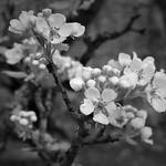Pear Blossom thumbnail
