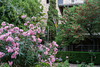 Oleander Parkanlage Valldemosa / Mallorca (elmar2018) Tags: oleander parkanlage valldemosa mallorca planzen blumen