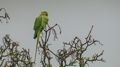 Rose Ringed Parakeet ( Male ) (- A N D R E W -) Tags: rose ringed parakeet male ring necked parrot perico parajo arbol cielo nature naturaleza green verde red rojo branch ramas feather wings beak alas gray gris dull dark rain lluvia psittacula krameri animal winter invierno canon 80d tamron sp 150600mm wildlife