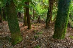Tree-fern-symmetry (ShirleyC059) Tags: tasmania tree ferns forest