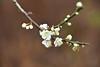 DSC_3589 (tsay.raymond) Tags: 柳家梅園 plumblossom