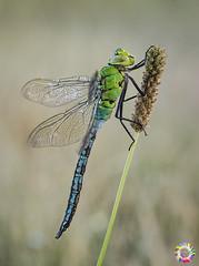 The most beautiful (gatomotero) Tags: olympusomdem1 mzuiko60 macrofield macronature macro odonato dragonfly libelula anax reposo ambiente alba amanece suavidad aliste rabanales zamora hd2016 recuerdos verano