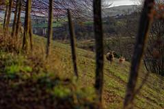 Be cows ! (David Bertholle) Tags: cows pré pre vaches boeuf beef color nature animals nikon d7200