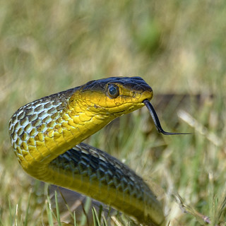 common tree or grass snake