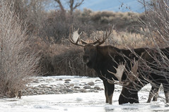 Two Bull Moose Enjoying a Cool Drink of Water - 9314Rb+ (teagden) Tags: cooldrinkofwater drink drinking water creek bull moose bullmoose antlers jenniferhall jenhall jenhallphotography jenhallwildlifephotography wildlifephotography wildlife nature naturephotography wyoming wyomingwildlife photography wild nikon winter ice cold