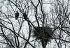 Eagles St. Joseph Illinois _A6A9773 (davidyouhas) Tags: eagles saint joseph illinois nest bald eagle