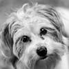 Kristal27Jan201812-Edit.jpg (fredstrobel) Tags: dogs pawsatanta phototype atlanta blackandwhite usa animals ga pets places pawsdogs decatur georgia unitedstates us