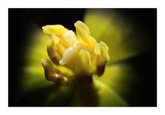 Tulip (cees van gastel) Tags: ceesvangastel canoneos550d canon1855mm extensionrings tussenringen macro bloemen flowers plants planten tulips tulpen natuur nature