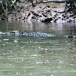 Crocodile Watching, Daintree River thumbnail