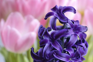 The combo : Hyacinth and tulip......