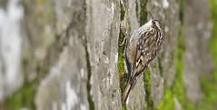 Agateador (coverkill) Tags: aves navarra pamplona naturaleza