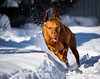 Snow Sprinter (Explored) (Neil_Wagner) Tags: vizsla hungarian ripley action running