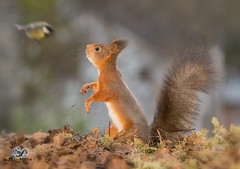 red squirrel standing looking at a titmouse (Geert Weggen) Tags: animal branchplantpart bright cheerful closeup cute groundculinary healthyeating horizontal humor land lightnaturalphenomenon loveemotion mammal nature photography plant red rodent seed softness springtime squirrel summer sweden yellow younganimal fruit couple redsquirrel fall autumn bird greattit titmouse bispgården jämtland geertweggen geertweggenhardekozweden ragunda